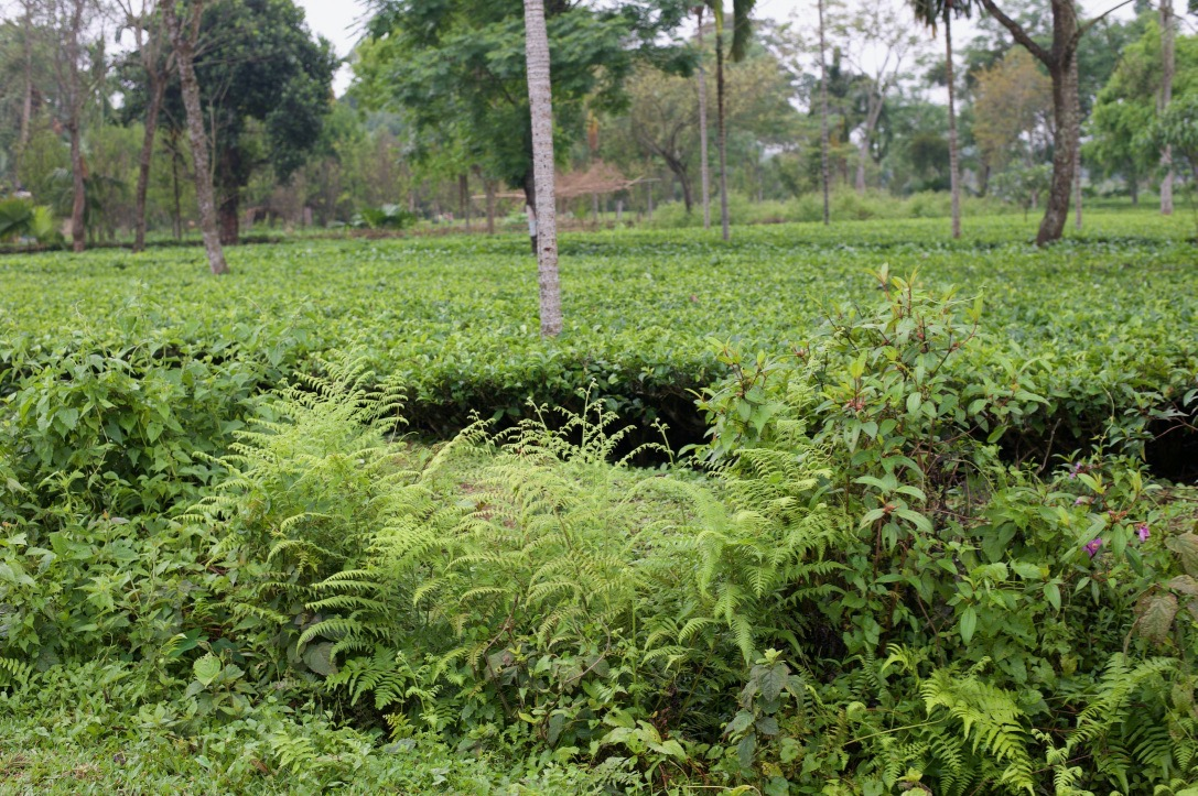 Bæredygtig teplantage Assam