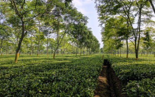 Assam Tea Estate