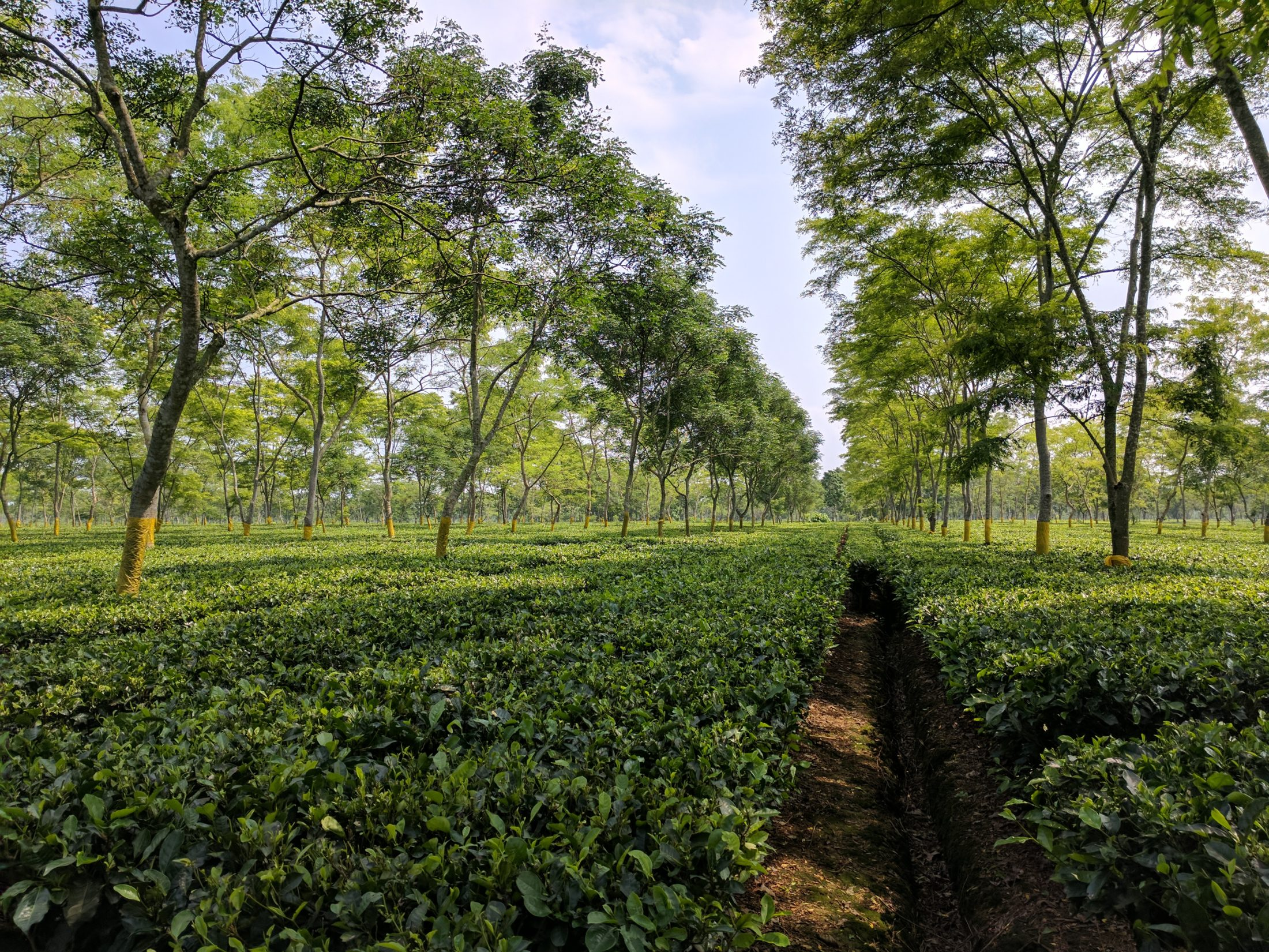 Assam Tea Estate