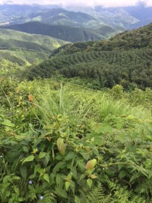 Økologisk tehave Menglun Yunnan